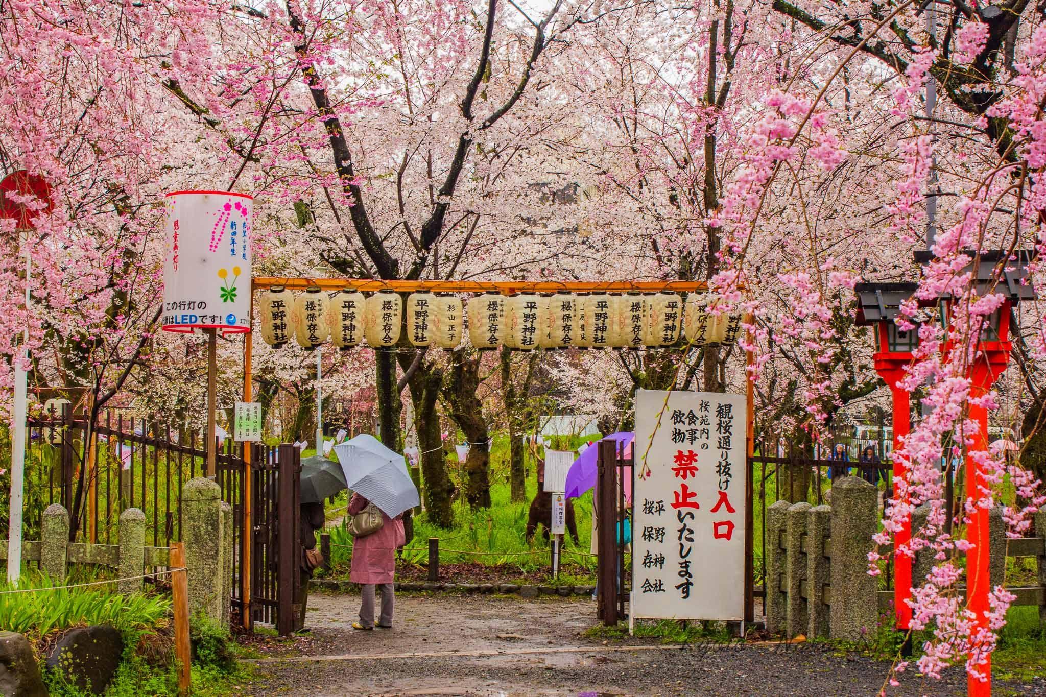 Hirano Jinja In Kyoto Sakura Paradise In 2021 Cherry Blossom Season Japanese Festival Japanese Cherry Blossom