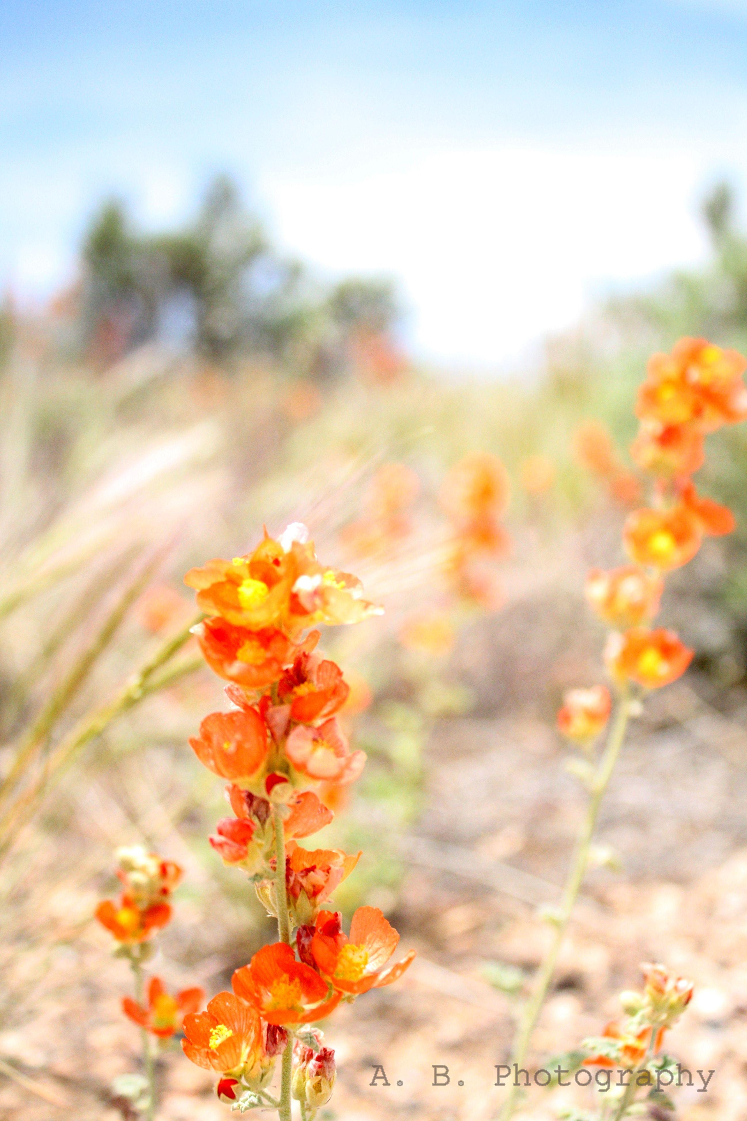 Desert Flowers Flowers Plants Gardens Pinterest Desert