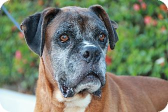 Huntington Beach, CA Boxer Mix. Meet Tito, a dog for