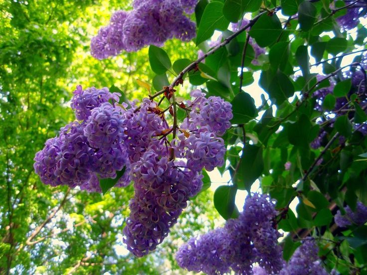 The Greek God Pan Was In Love With The Beautiful Goddess Seiren And Chasing Her In The Woods She Transformed Herself To Mel Lilac Tree Lilac Bushes Lilac Plant