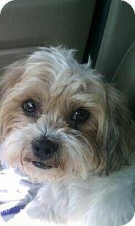 Seattle Wa Shih Tzu Poodle Miniature Mix Meet Sophie A Dog