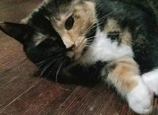 favorite this post Cat Missing Calico Cat Reward