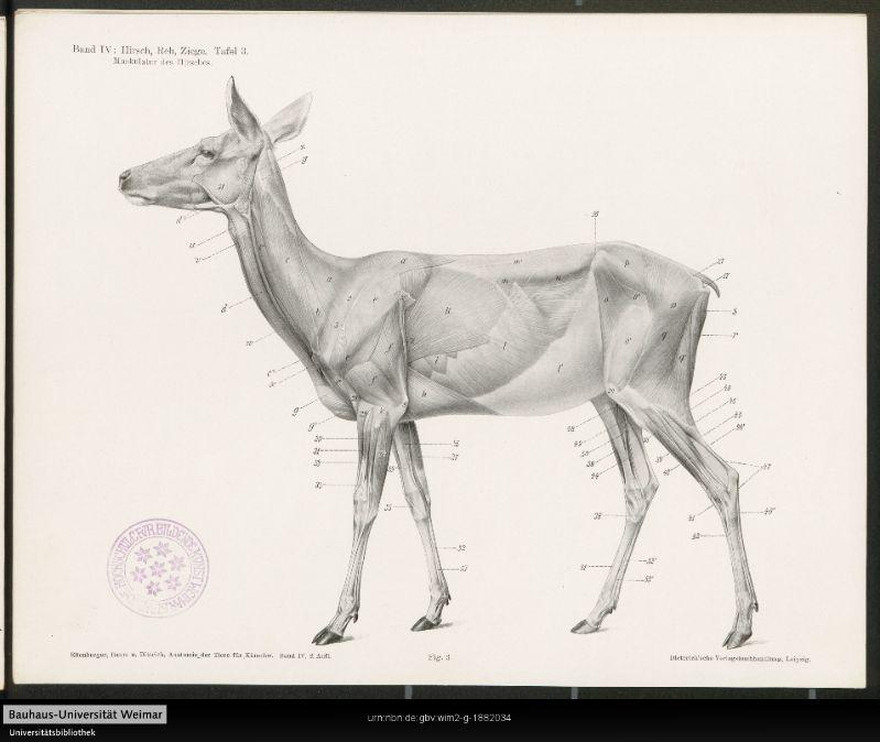 Manual for Artists, 1901. Anatomie von Hirsch, Reh und Ziege ...