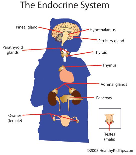 The Thyroid Parathyroid Adrenal Pituitary Pineal Gland Pancreas