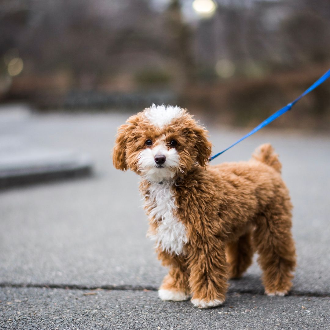 Oliver Toy Poodle 10 M O Central Park New York Ny He Ate