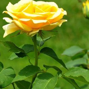 Beautiful Single Yellow Rose With Long Stem Images Free Download