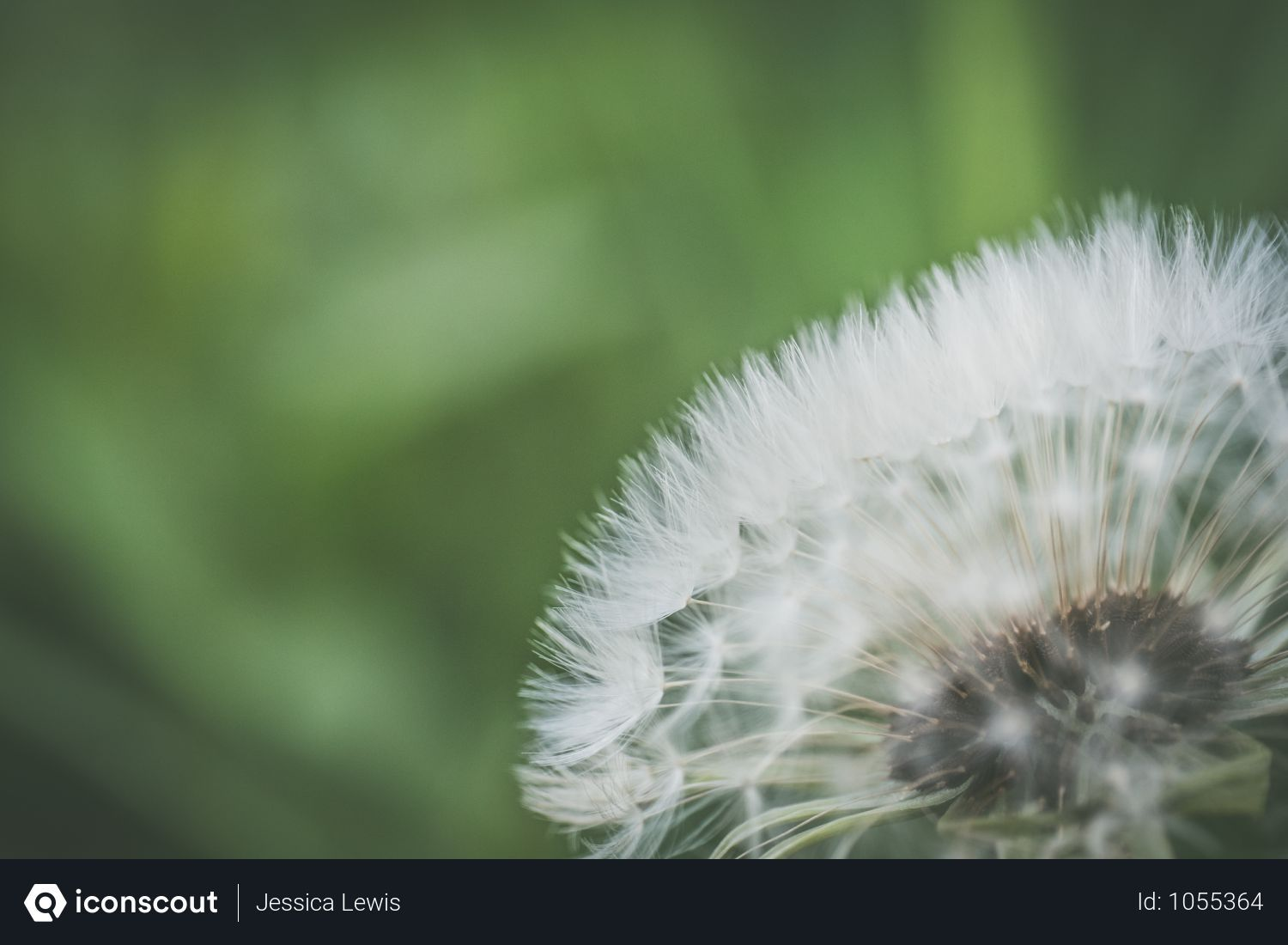 Free Close Up Photo Of White Dandelion Flower In Garden Photo Flowers Photos White Dandelion Garden Photos Dandelion Flower