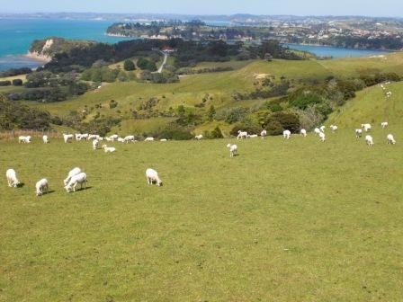 Schafe im Shakespear Park bei Whangaparaoa / Neuseeland