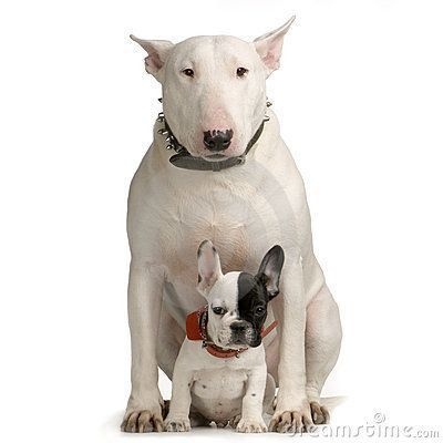 Staffordshire bull terrier puppy. Terrier mix