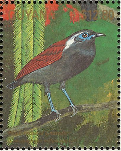 Black-bellied Gnateater stamps - mainly images - gallery format