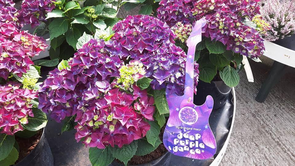 Hydrangea Deep Purple Dance @ Horkans Galway