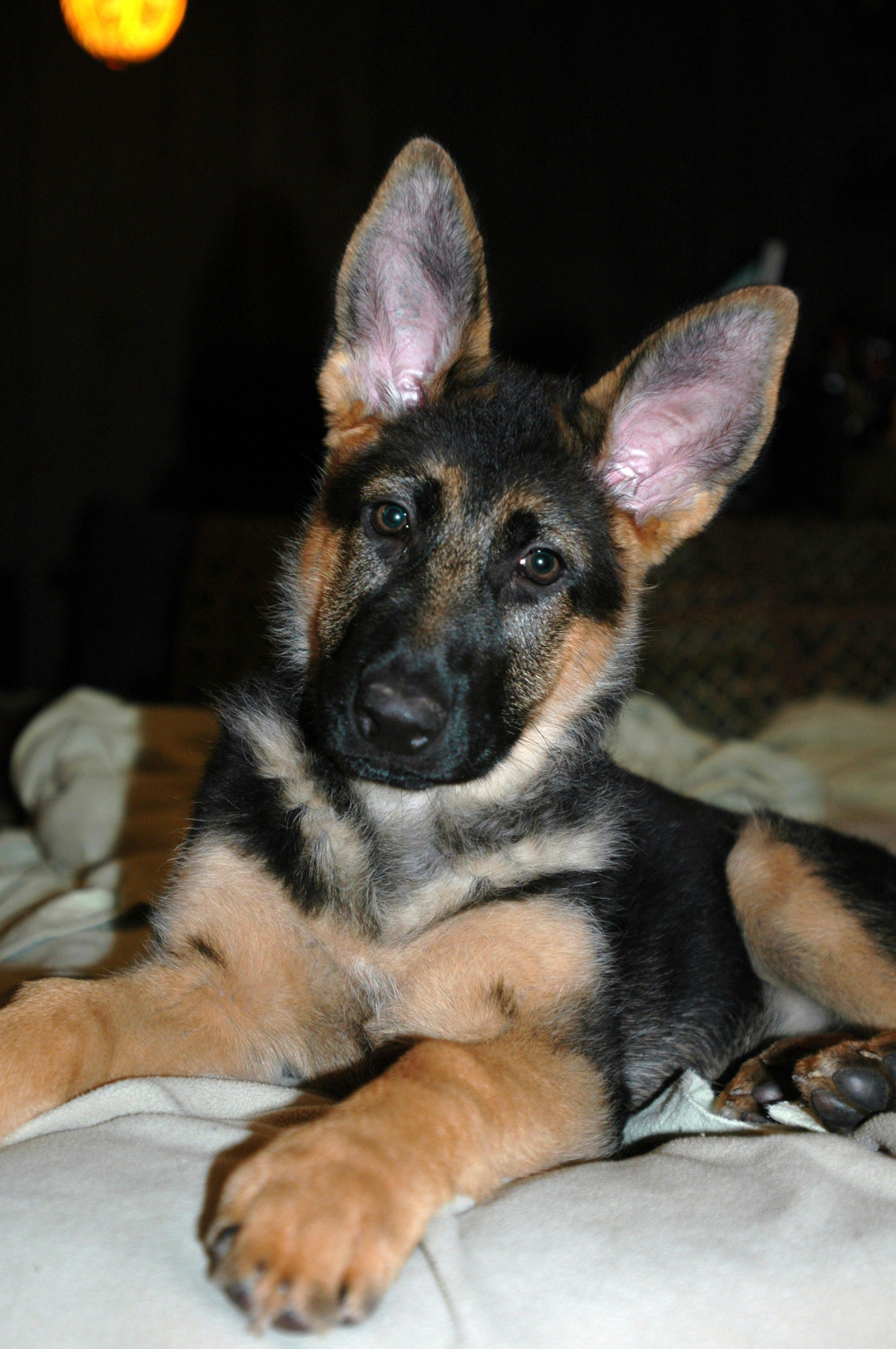 Juno at 3 months...she grew into her ears! German