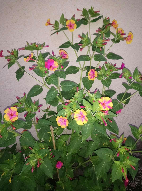 Belle de nuit 📷 Karine Bouchereau FB (avec images) | Fleurs