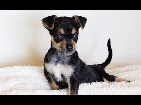 Live Special Needs Chihuahua Puppy Looking For A Forever Home