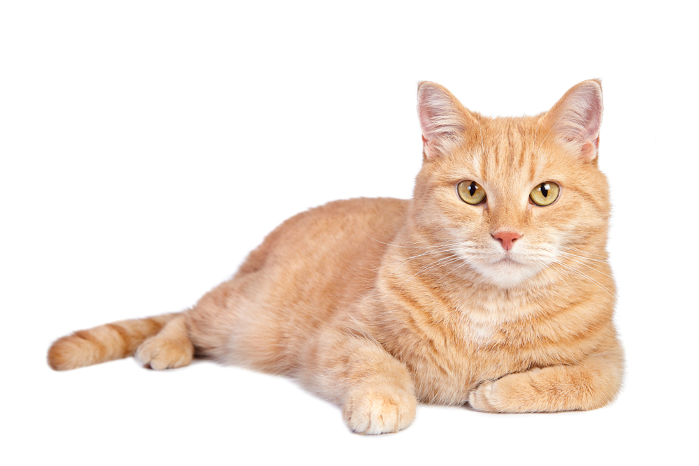 Lying Tabby Ginger Cat Isolated On Ginger Cats Cats Tabby