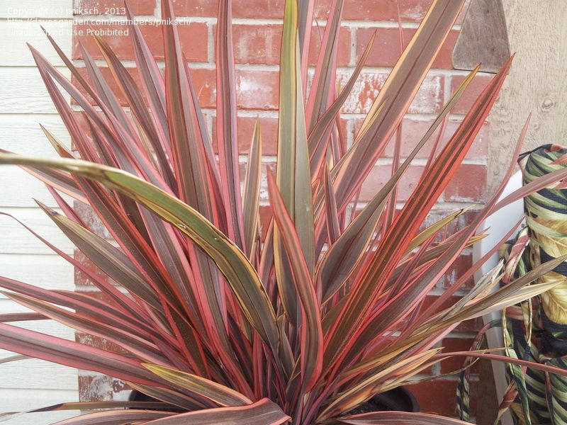 Plantfiles Pictures New Zealand Flax Sundowner Phormium Tenax 10 By Pniksch New Zealand Flax Victorian Front Garden Plants