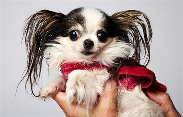 13 Famous Long Haired Dog Breeds Around The World Westminster