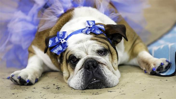 Bulldog Beauty Pageant Features Tiaras Tutus And Slobber Pets