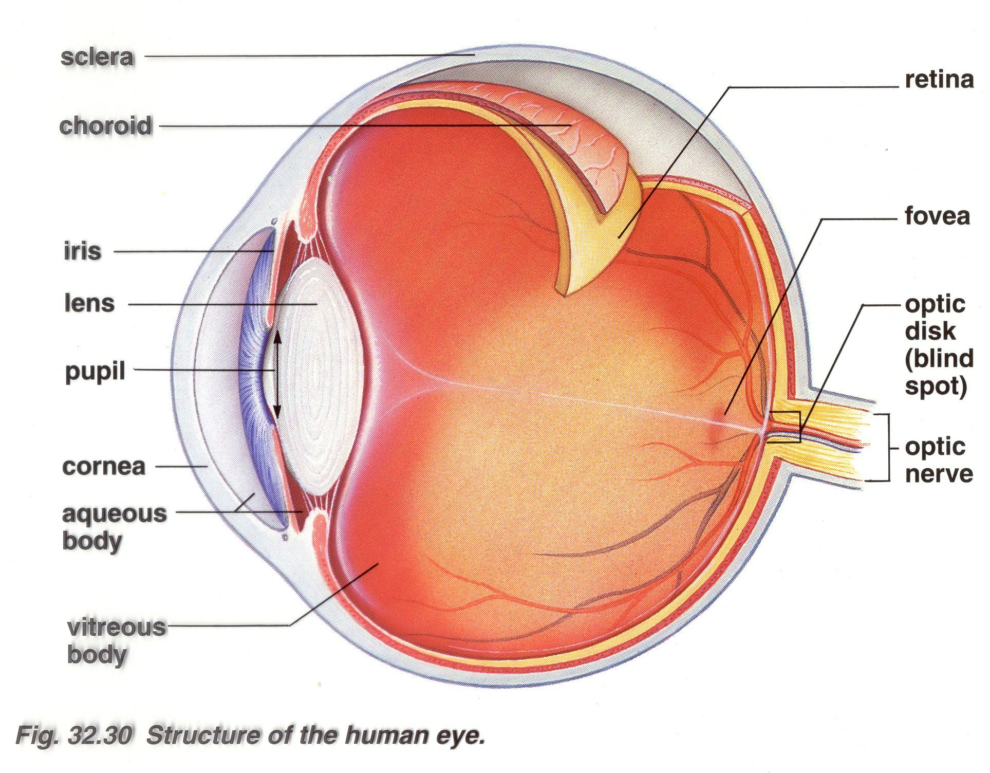 eyeball diagram structures of the human eye cool eh