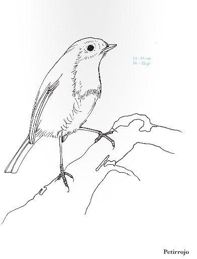 Petirrojo. Erithacus rubecula. Rara Avis. Pequeña guía de aves para ...