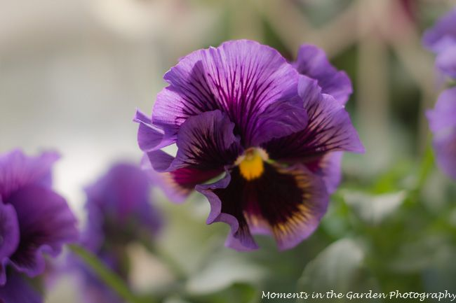 Frilly Pansy Pansy Garden Photography Flowers Photography Pansies