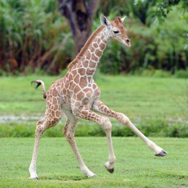 Baby Giraffe, recently born a the Miami, FL zoo!