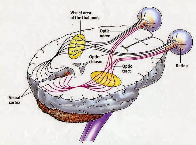視覺路徑(Visual Pathway) - 小小整理網站   Brain   Pinterest ...