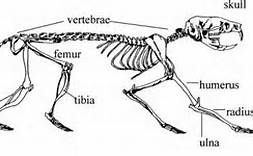 rat skeleton diagram bing images chimera pinterest rats rh pinterest ie Rat Skeletal System Frog Skeleton Diagram