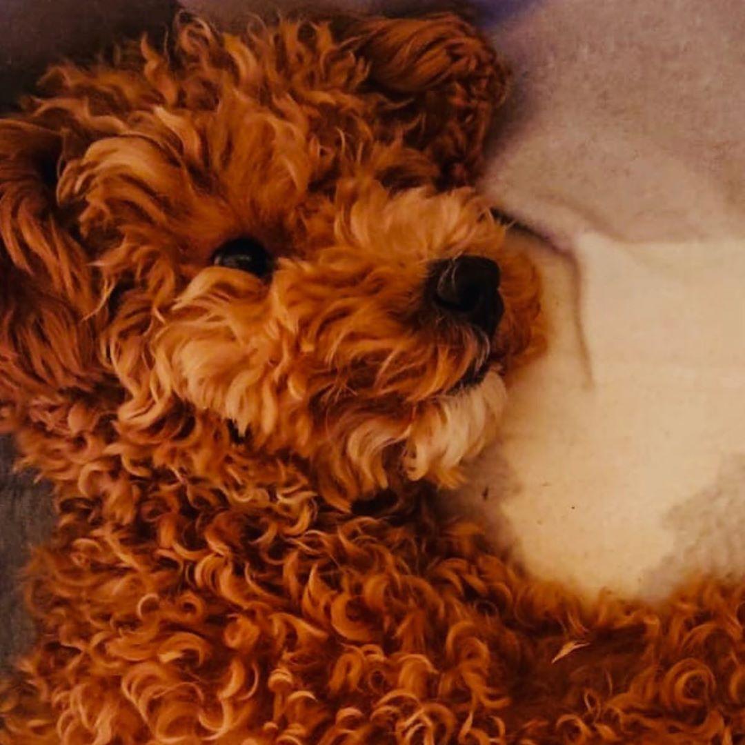 #toypoodle #poodle #poodlesofinstagram #dogsofinstagram #dog #puppy #dogs #poodlelove #puppiesofinstagram #puppylove...