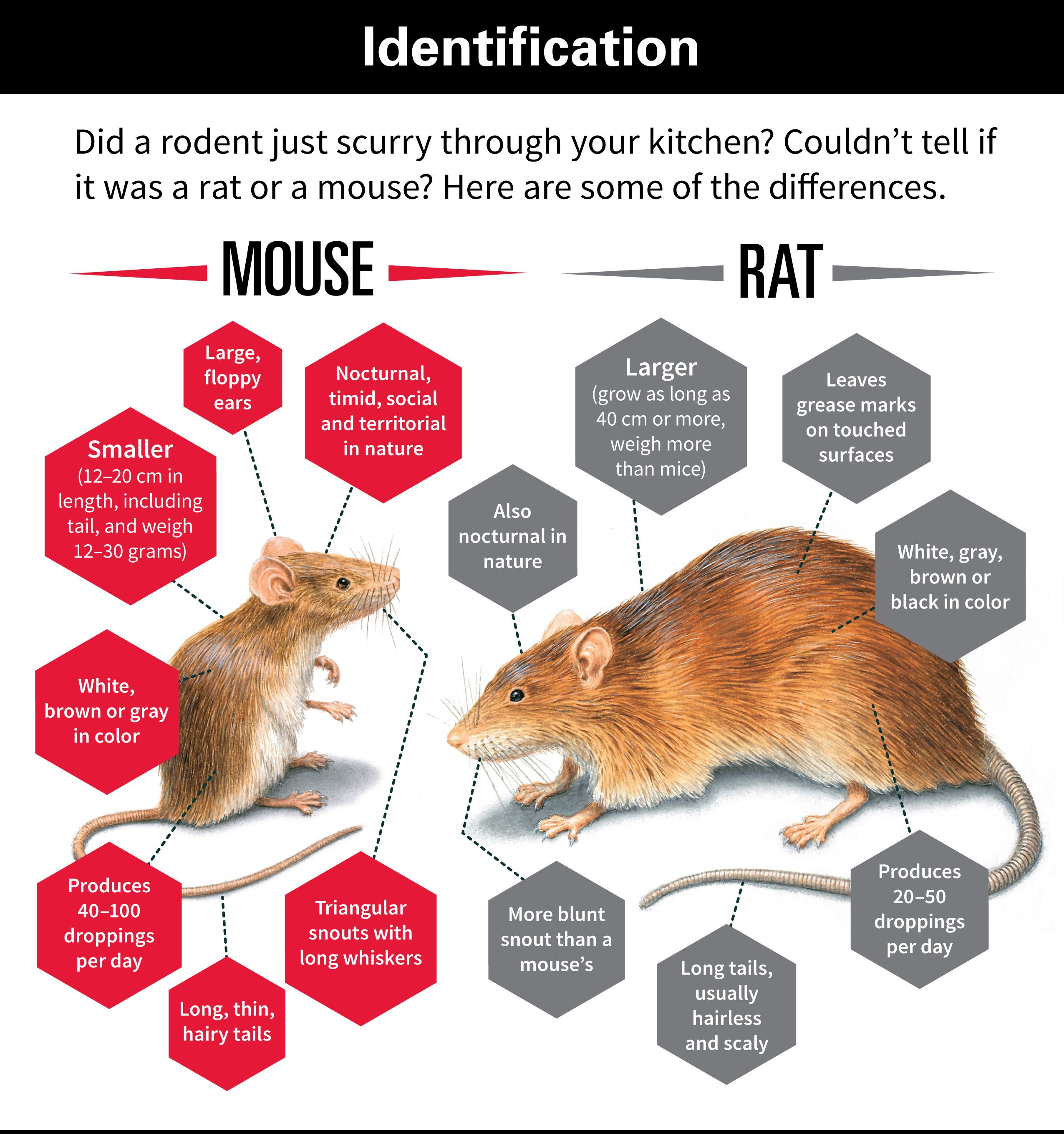Difference Between Rats Amp Mice Chart