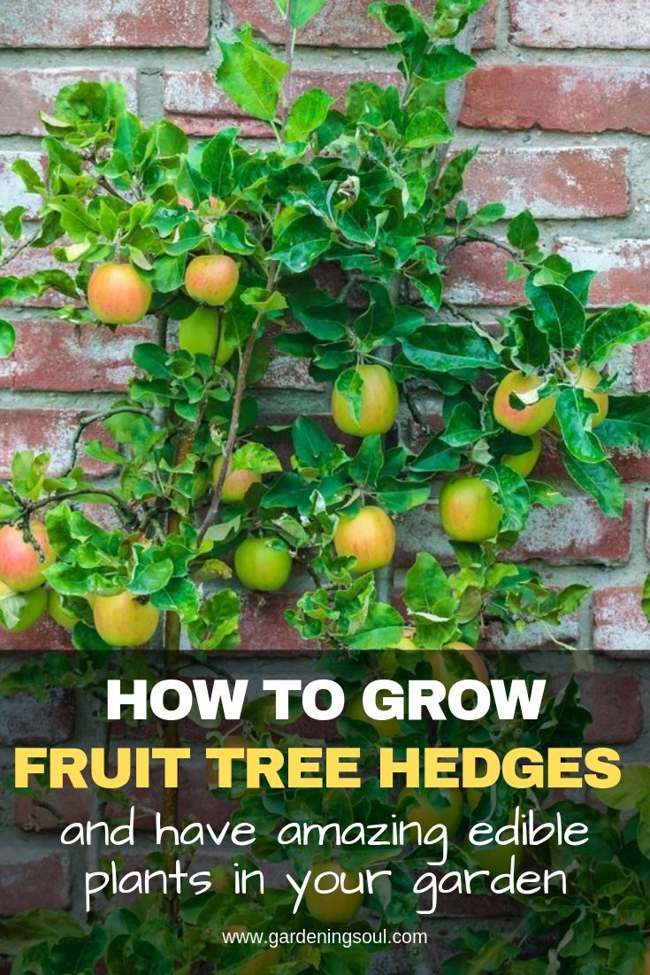 How To Grow Fruit Tree Hedges And Have Amazing Edible Plants In Your Garden
