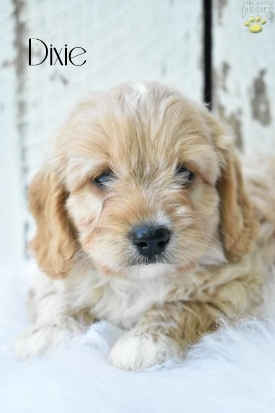 Dixie Cavapoo Puppy for Sale in Holmesville, OH