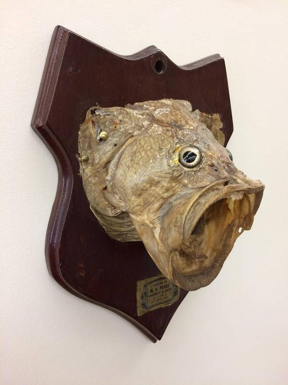 Vintage Fish Taxidermy, Large Mouth Bass Mount, 1930's San