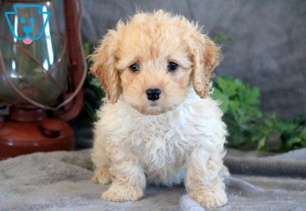 Penny Cockapoo Puppy For Sale Keystone Puppies Cockapoo