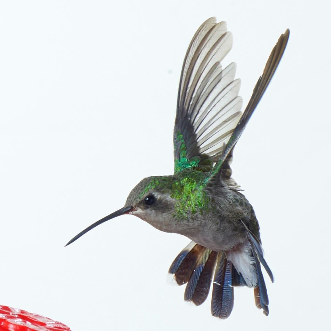 Intimate portraits of wild birds used to create art and awareness. Ten percent of net profits in 2016 go to Audubon MN.