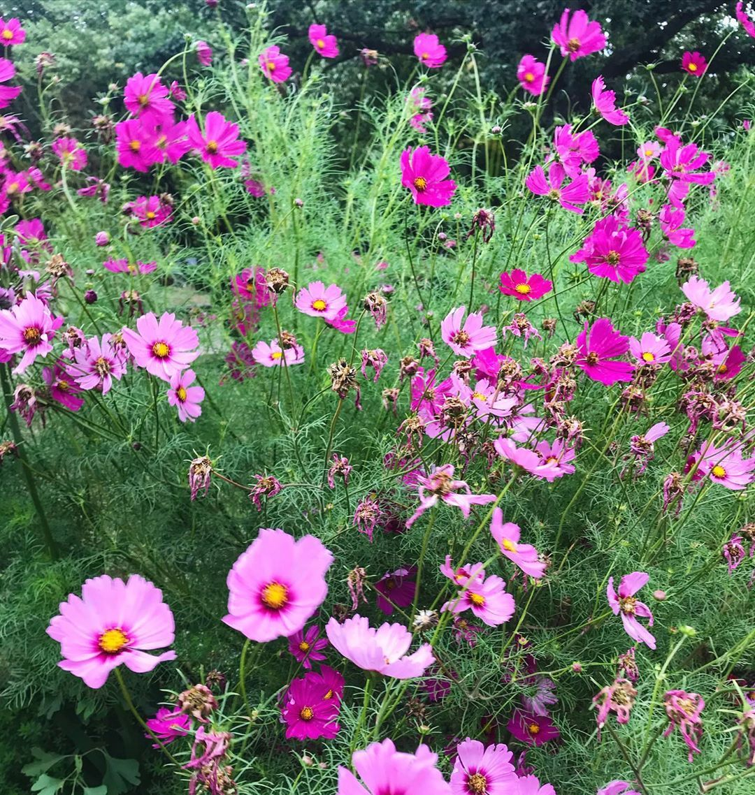 Cosmos Amazing Flowers Flowerphotography Garden Garten Gardeninspiration Gard In 2020 Flowers Photography Garden Inspiration Big Flowers
