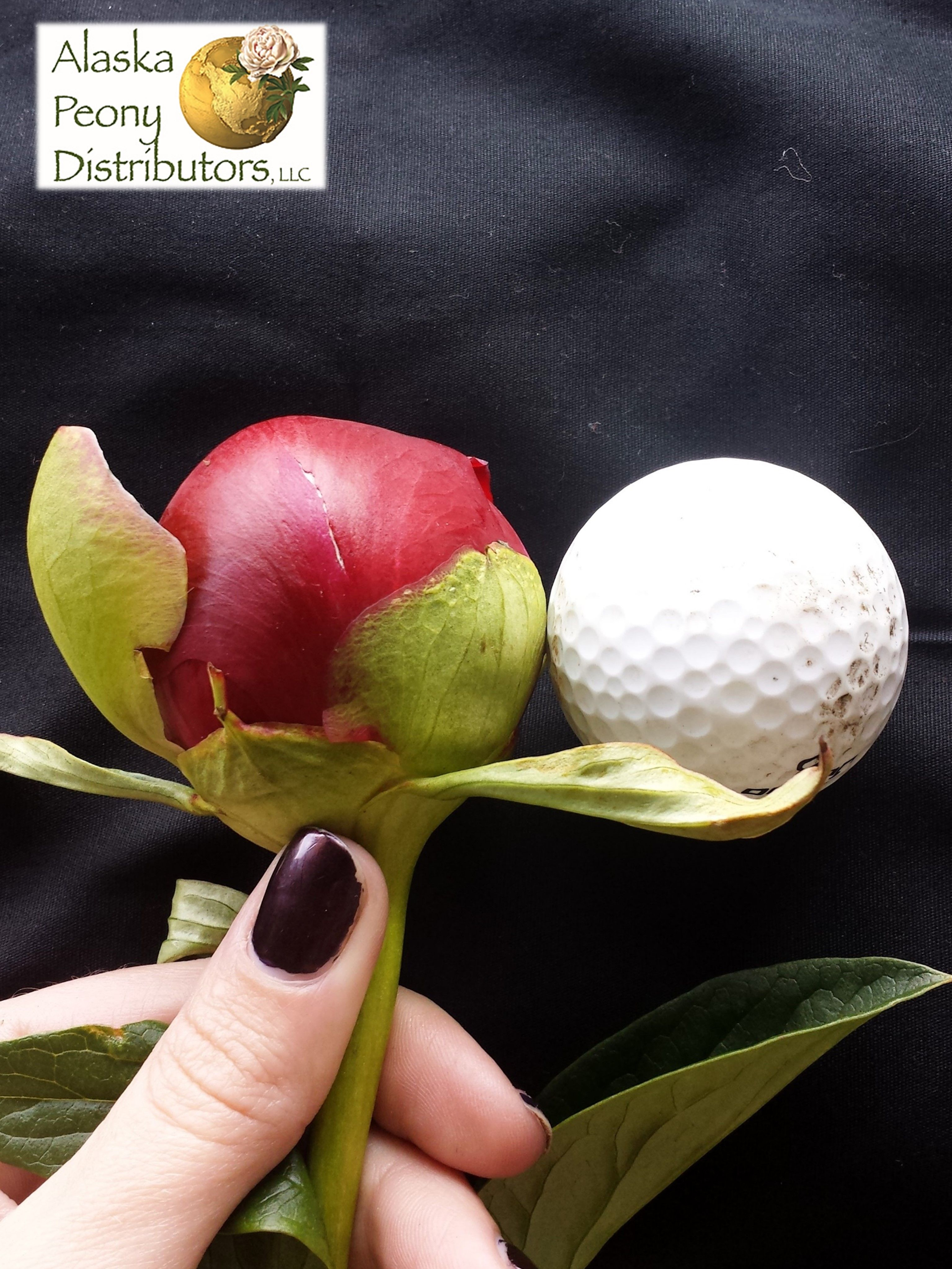 Here is a good size comparison for our peony bud heads.  There is an old grading scale for peonies established back in the early 1900's but Alaska Peonies tend to top right off of that scale, so we are a grade of our own!