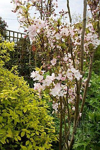 Flagpole Cherry Tree Prunus Amanogawa Small Backyard Landscaping Front Yard Landscaping Design Landscaping Around Deck