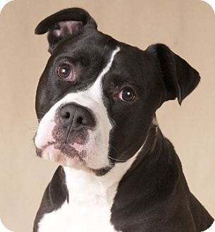 Chicago Il American Bulldog Boxer Mix Meet Petey A Dog For