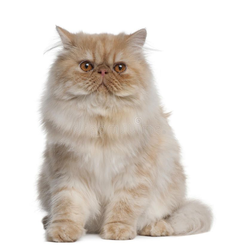 Photo About Persian Cat 1 Year Old Sitting In Front Of White