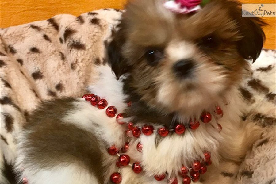 I am a cute shih tzu puppy looking for a home on