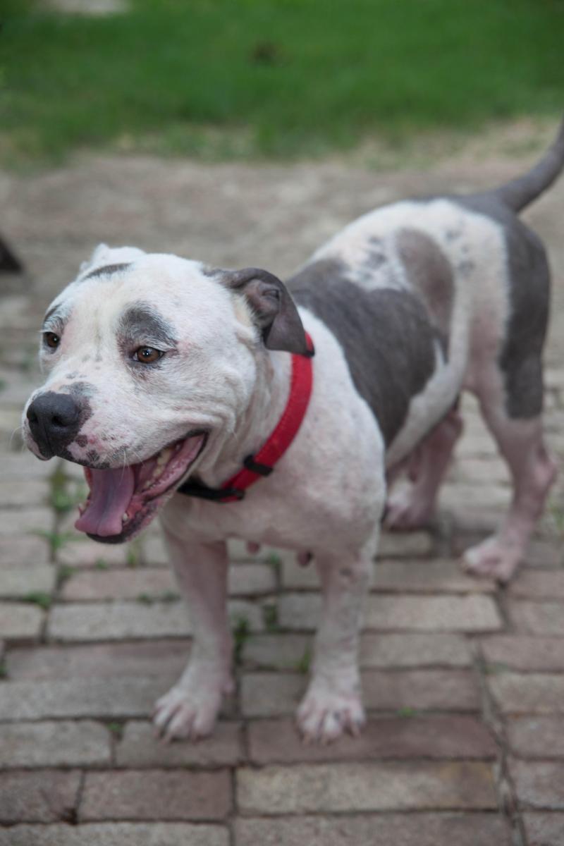 Adopt Jolie On American Bulldog Mix Adoption Dogs