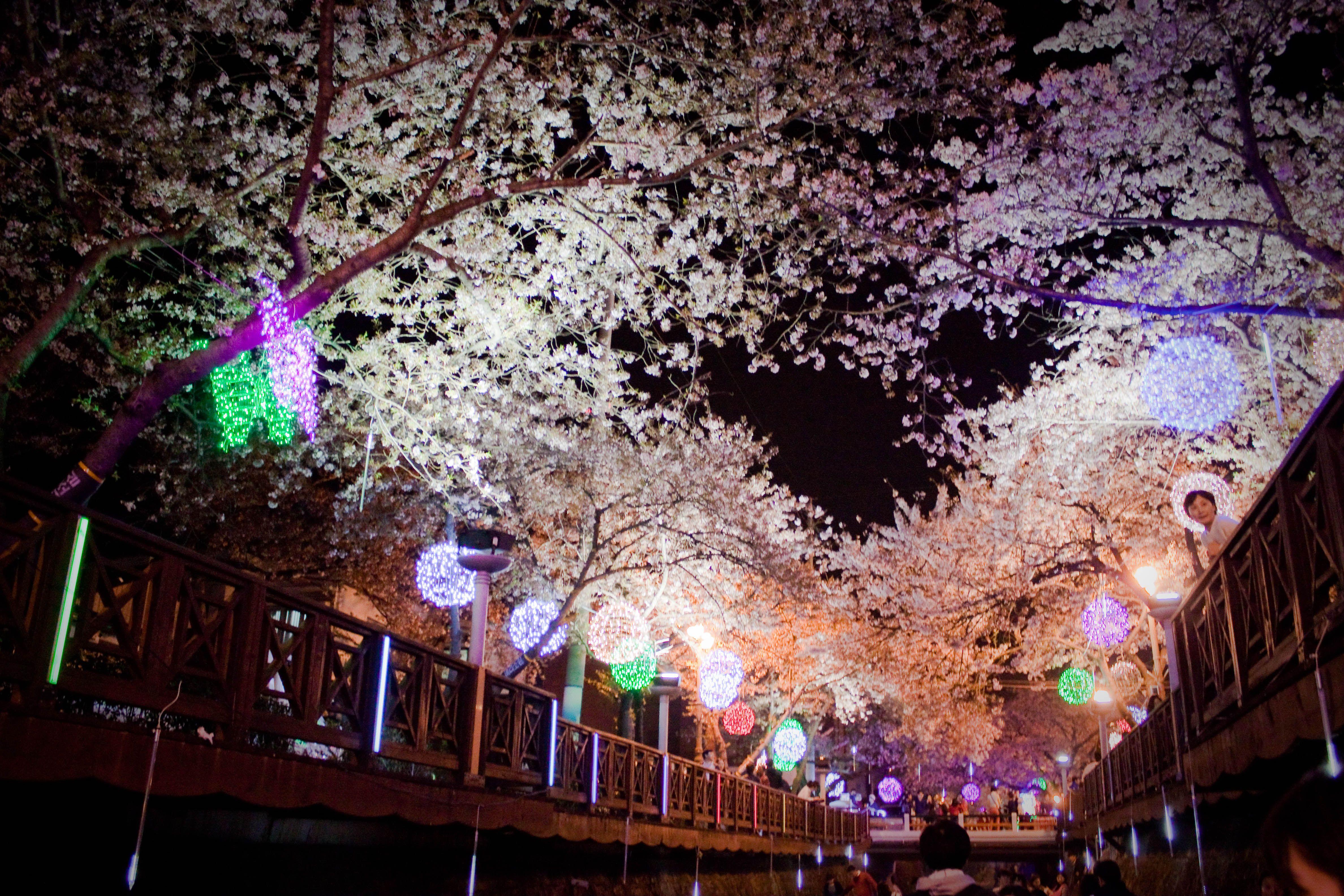 Jinhae Cherry Blossom Festival Cherry Blossom Festival Cherry Blossom Blossom