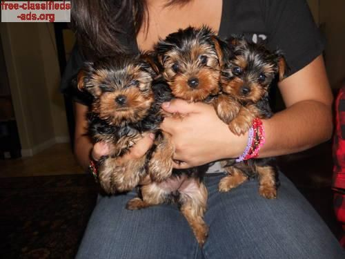 cute yorkie to give away Pets