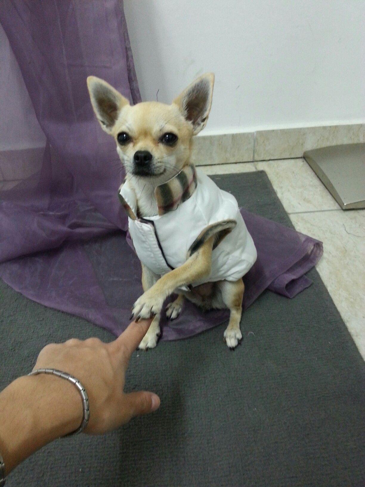 Fay The Chihuahua Isn T She Beautiful Cute Chihuahua Chihuahua Love Chihuahua Lover
