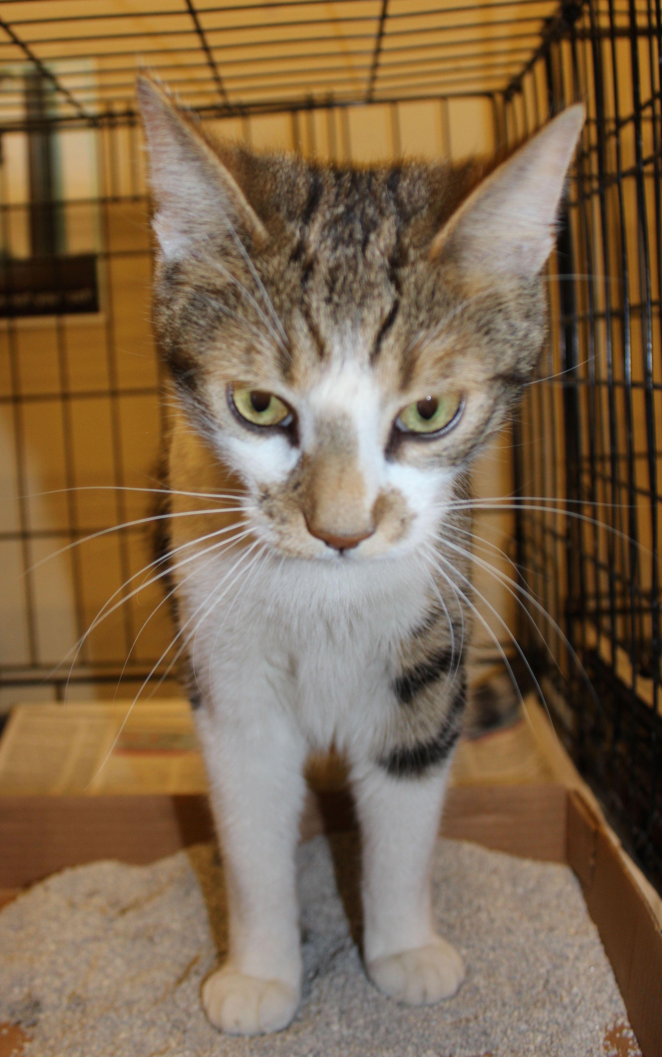 Come Visit Gigi At The Fair Lakes Petsmart Cat Adoption Petsmart Adoption Center