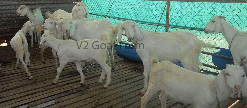 Best goat farm training for beginners  Goat farming business