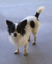 Petango.com – Meet Don Juan de Marco, a 12 years 11 months Chihuahua, Long Coat / Papillon available for adoption in Mesa, AZ