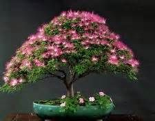 Mimosa * Silk Tree Seeds * Makes A Great Bonsai Specimen