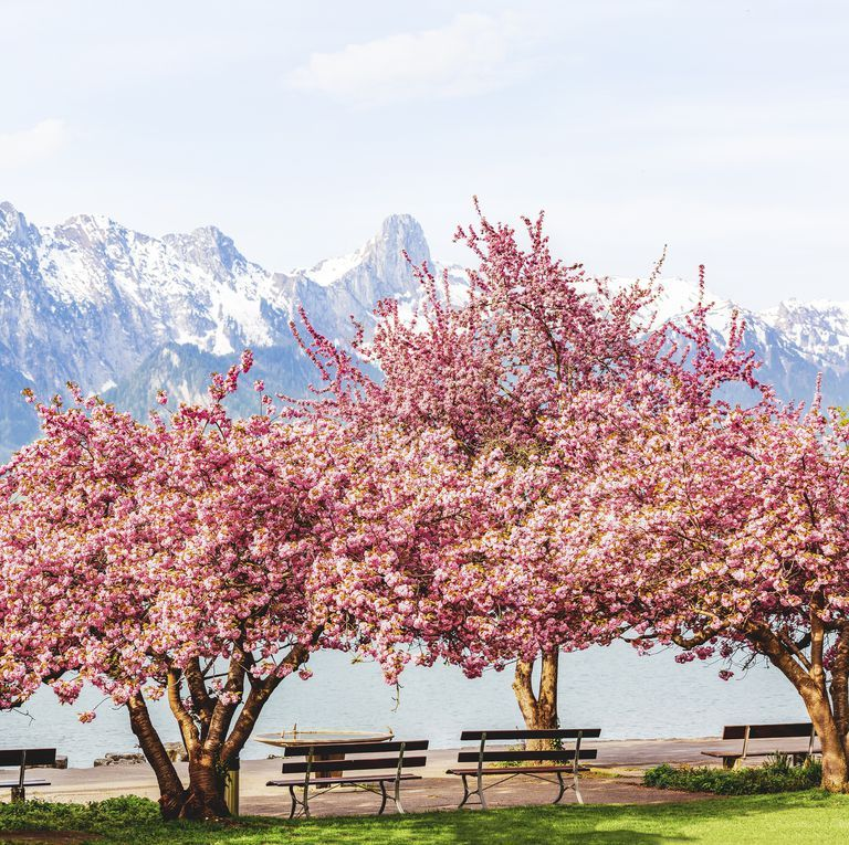 You Can Now Buy Your Very Own Ready To Plant Cherry Blossom Tree For Just 39 Fotografcilik